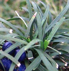 Ophiopogon japonicus 'Minor' - Zwerg-Schlangenbart