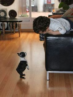 Things we all admire about the Small Boston Terriers Boston Terriers, Boston Terrier Love, Cute Puppies, Cute Dogs, Dogs And Puppies, Doggies, Chihuahua Dogs, I Love Dogs, Puppy Love