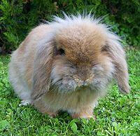 die 35 besten bilder von kaninchenrassen hauskaninchen haustiere und kaninchenrassen. Black Bedroom Furniture Sets. Home Design Ideas