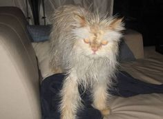 Cat Bathing cool 22 Hilarious Pictures Of Wet Cats(Cat bath) - Let see pictures of cat bath/wet cat, Cats are cute and cuddly animals. The independent nature of cats makes them an ideal choice as pets. Silly Cats, Funny Cats, Kitten Images, Best Cat Food, Cat Bath, Owning A Cat, Cat Grooming, Domestic Cat, Monster