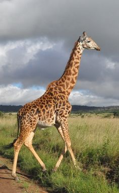 A giraffe maintains balance using a unique gait, moving its left legs, then its…