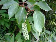 Schisandra sphenanthera