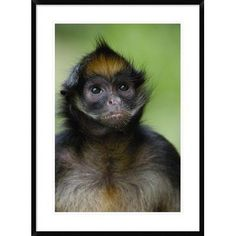 """Global Gallery 'White-Bellied Spider Monkey Portrait' Framed Photographic Print Size: 36"""" H x 26"""" W x 1.5"""" D"""