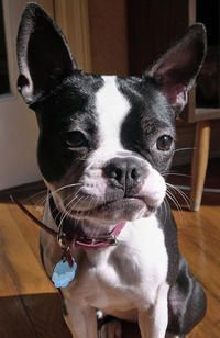 Boston Terrier Teeth Stuck Happens All The Time Yorkiepuppylosingteeth Do Puppies Lose Their Canine Teeth P Boston Terrier Boston Terrier Dog Terrier