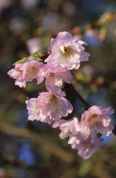 Flor de cerezo Prunus 'Autumnalis Rosea' Fotografia de John Glover, uno de los primeros y de los mas importantes fotografos de jardin del Reino Unido