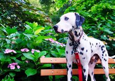When you think of Dalmatians, you probably imagine a black and white spotted dog proudly riding along in a fire engine (or that Disney movie). While fighting fires is not a given when it comes to this breed, helping others definitely is—especially for Charlie, the deaf Dalmatian devoted to