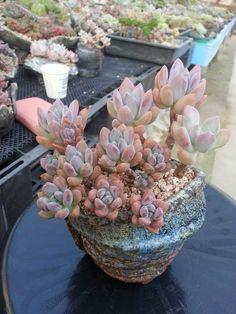 Beautiful Pastel Succulent
