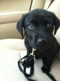 Sweet little black Lab puppy <3