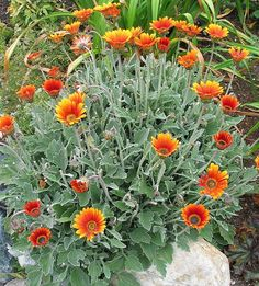 View picture of African Daisy 'Pumpkin Pie' (Arctotis) at Dave's Garden.  All pictures are contributed by our community.