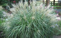 Adagio Dwarf Maiden Grass - Miscanthus sinensis 'Adagio'