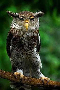 Malay Eagle Owl.