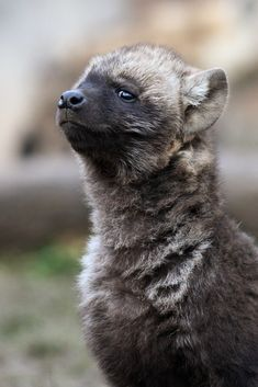 What do hyenas eat? There are three types of hyenas; the spotted hyena, the brown hyena, and the striped hyena. Jungle Animals, Cute Baby Animals, Funny Animals, Wild Animals, Brown Hyena, Striped Hyena, Wolf Hybrid, African Wild Dog, Wild Dogs
