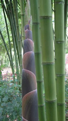 42 Best Bamboo Images On Pinterest Bamboo Garden Forests And