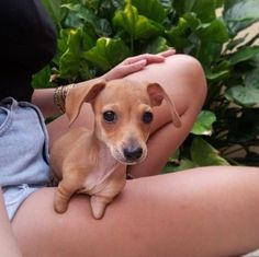 Meet T-Rex, the two-legged Chiweenie who will steal your heart. #chihuahua #doxie