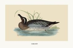 Garganey Duck print