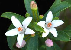 Eriostemon myoporoides ou Philotheca myoporoides : conseils de culture et d'entretien de cet arbuste persistant qui fleurit en hiver.
