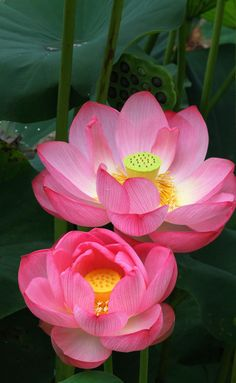 Photograph Lotus sisters by Fumie Lorenzo Mais Lotus Flower Pictures, Flower Images, Flower Photos, Flower Art, Beautiful Flowers Wallpapers, Most Beautiful Flowers, Exotic Flowers, Pink Flowers, Flowers Gif