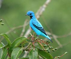 # 10 Most Beautiful Birds - The Blue Cotinga bird is one of a kind turquoise colored bird with a long neck and small head. It looks somewhat funny and sweet. Origin: South America