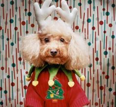 poodle-looks like my poopie face! Christmas Animals, Christmas Dog, Ugly Christmas Sweater, Merry Christmas, Xmas, Christmas Things, Funny Animals, Cute Animals, Ugly Dogs