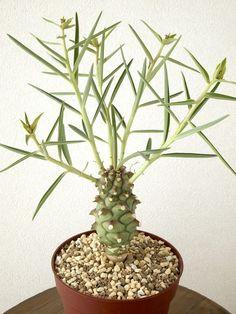 Euphorbia monteiroi