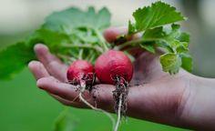 How To Grow Radish #gardening #vegetable