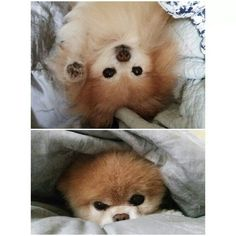 Boo and Buddy Zoo Animals, Cute Animals, Cute Puppies, Cute Dogs, Boo And Buddy, World Cutest Dog, Rain Go Away, Cool Tones, Pomeranian