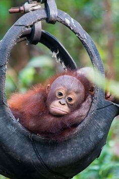 Budi the orangutan goes to baby school. Image: International animal rescue By Alicia UTC We can't think of anything sweeter than a bunch of elementary school kids putting. Cute Funny Animals, Cute Baby Animals, Animals And Pets, Animals Beautiful, Beautiful Creatures, Types Of Monkeys, Baby Orangutan, Cute Animal Pictures, Animal Photography