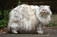 18 of the Fluffiest Cats on the Planet