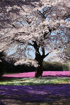 Spring...cherry blossom in field of phlox