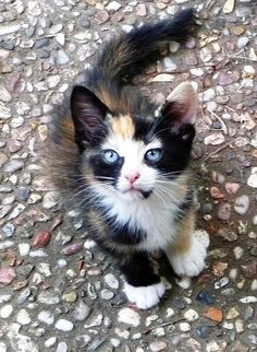 Calico cat ...love her blue eyes !