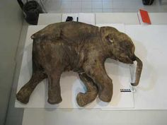 """8SS. Baby woolly mammoth (""""Lyuba"""") frozen in time -- """"A female, heavy with young, was near the periphery of the herd, and edging farther out. She was fairly young, but by the length of her tusks, the pregnancy was probably not her first. She was far enough along in it to make her ponderous. She wouldn't be as fast or agile, and fetal meat would be a succulent bonus."""" p.240"""
