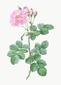 Blooming Apples, Blooming Rose, Elizabeth Cady Stanton, Floral Vintage, Vintage Roses, Rose Illustration, Botanical Illustration, Botanical Flowers, Botanical Art