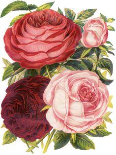 Gorgeous Victorian Large Roses Botanical Image!