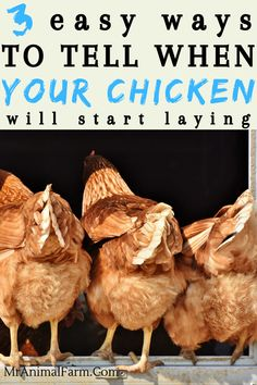 When do Chickens Start Laying Eggs? - 3 Signs Your Hen May Be Ready to Lay - If you're raising chick Raising Backyard Chickens, Keeping Chickens, Pet Chickens, Urban Chickens, How To Raise Chickens, Best Chickens For Eggs, Bantam Chickens, Chicken Garden, Chicken Life