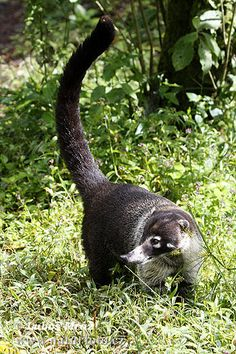 White-nosed Coatimundi (Nasua narica) - also known as Brazilian Aardvark, Hog-Nosed Coons, pizotes, Panamanian Gatosolos, crackoons, snookum bears. Member of raccoon family, diurnal mammals.