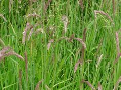 Yorkshire Fog: the iconic grass species | Nature Notes from Dorset