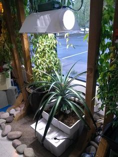 Growing a pineapple in Oregon, impossible? Not according to The Green Future in Wilsonville, OR. Give them a visit and check out their impressive pineapple plant! Pineapple Planting, Indoor Gardening, Spotlight, Oregon, Clever, Gardens, Scene, Organic, Future