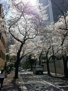 春ー六本木の桜 樱荫道