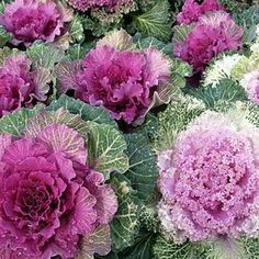I mix these with pansies to have some potted winter color I can move around. Ornamental kale - cold tolerant with leaves in lavender, rose and white, creates brilliant color to a winter garden Winter Flowers, Winter Colors, Fall Plants, Garden Plants, Design Jobs, Ornamental Cabbage, Edible Plants, Autumn Garden, Outdoor Plants