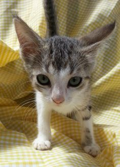 Meet Ivy 22492, a Petfinder adoptable Domestic Short Hair Cat | Prattville, AL | Ivy is a 10 week old, brown/black/white tabby female.Dogs and puppies may be adopted for a fee of...