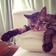 "@_daisy's photo: ""おはムサシ! ぐてー melting. #musashi #mck #cat #キジトラ"""