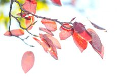 Photograph High key, red autumn leaves by Mariaberg by Maria Berg on Autumn Leaves, Photograph, Key, Nature, Color, Photography, Naturaleza, Fall Leaves, Unique Key