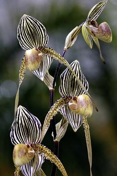 Paphiopedilum Or (Slipper Orchid) by Feathers and Flowers, $80