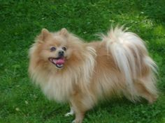 Wow some beautiful dogs! Here is our 4-year old Pomeranian. http://ift.tt/2f8yMF4