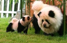 Chow chows dyed to look like panda bears. I want to see the neighbor's face or the people at the vet's office lol.