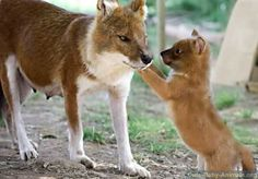baby dhole puppy