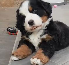 The place for Bernese mountain dog, the Bernese mountain dog adoption, expert the Bernese mountain dog advice. Super Cute Puppies, Cute Baby Dogs, Cute Funny Dogs, Cute Dogs And Puppies, Cute Funny Animals, Pet Dogs, Funny Pugs, Doggies, Pets