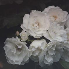 https://flic.kr/p/v8hPkz | image | White roses