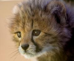 Yeats the ambassador cheetah at 3 weeks old. This cutie pie has grown up to be a wonderful patient ambassador