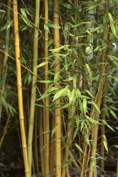 ideas backyard privacy screen ornamental grasses - All For Garden Bamboo Plant Care, Bamboo Hedge, Bamboo In Pots, Bamboo Plants, Desert Plants, Bamboo For Privacy, Backyard Privacy Screen, Privacy Plants, Privacy Landscaping